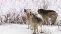 摄影师利用新技术揭秘狼群家庭生活细节