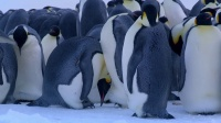 企鹅上演南极严苛冬天戏剧性的故事