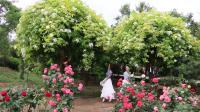 【木子旅行】莱州中华月季园一日游