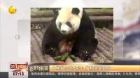 大熊猫吃苦瓜吗?真相笑哭网友 第一时间 180524