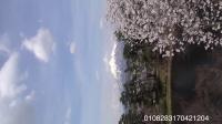 太漂亮了❤️青森县岩木山弘前城樱花