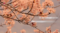 Sakura 歌词版