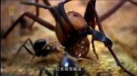 非洲行军蚁大军一周猎食25万生物 如果遇到死敌狂蚁只能逃命