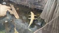 【真鳄龟vs白话鳄鱼】鳄与鳄之间的较量-原版超清1080P