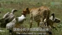 非洲猎豹捕杀羚羊给幼崽尝鲜, 不料被大群秃鹫偷袭