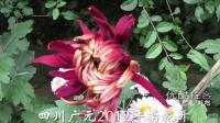 [拍客]四川广元2012年:菊花开