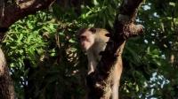 野狗是一种怎样的存在?猴群看到它们,全都往树上逃窜!