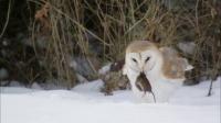 猫头鹰吞食老鼠满足露笑容 可以当表情包了!