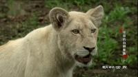 耀眼的白狮家族(二) 动物世界 190221 高清
