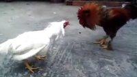 斗鸡--大毛脚公鸡VS哥伦比亚斗鸡