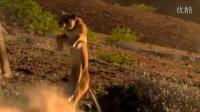 【冯导】实拍狮子飞身扑杀长颈鹿被踹飞遭狂踩