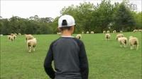 漫步在羊群 奥克兰康乃尔公园