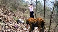 上山砍柴差点被老虎吃了