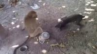 手贱的猴子总是欺负小狗,这次终于被欺负了!