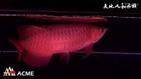 印尼ACME超级红龙鱼与其他渔场红龙发色出水照自然光对比