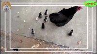 鸡妈妈带一窝小鸡鸡欢乐逛街买好吃的,叽叽喳喳好开心