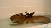 【极酷花园】跨越种族的友谊! 水豚与小鸭子一起泡澡【水豚】