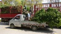 大果桑树,出售大桑葚果树苗,5公分以上桑葚果树苗,2米以上桑葚树,无籽大十大树苗