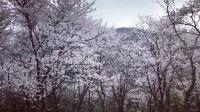 ★【优酷】2018.03.20 绍兴 宛委山:櫻花林