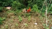 斗鸡:新鸡初成长MAN和BOY