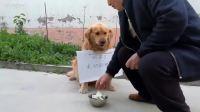 可怜的狗狗为肚子里的宝宝挣奶粉钱,上街乞讨