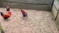 斗鸡:红发PK短打(病愈试打)