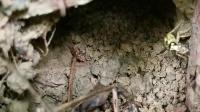 小黄马蜂蜂窝地洞口,金盾胡蜂蜂窝20200704_114935_1_1