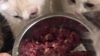 如果猫没有吃过生牛肉,开始不感兴趣其实很简单,你用表哥的窍门,多少都给你吃掉