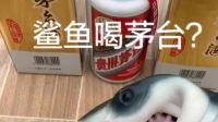 是谁说想看鲨鱼喝茅台来着,这可是花了我一天的早饭钱啊!