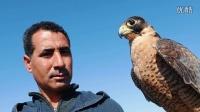 震撼!价值百万的阿拉伯猎鹰原来是这样捕杀猎物的!