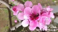 [拍客]2016年春四川广元利州区城乡桃花开