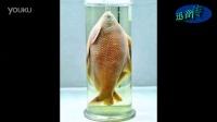 华农武昌鱼标本升级为文物 采集于上世纪50年代·迅音160807