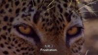 食物链之 命大的黑斑羚 豹口脱生