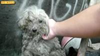 04-26期每日一狗之流浪狗救助:救援双眼失明又脏又乱且跳蚤满身的小泰迪狗狗