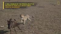 猎豹捕杀角马