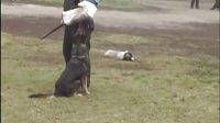 东德牧羊犬,DDR犬,Channy ,防卫视频,吉诺普犬业,种母