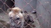 斑鬣狗的晚餐