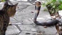 阿拉伯人的视频 猫和眼镜蛇干仗 观众说的是中文