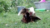 禽战:鸡鸭领地战争