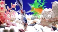 水族箱 金鱼游动视频 鱼儿水中游