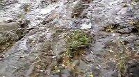 霜霉捕虫堇(Pinguicula cubensis)生长在石壁上
