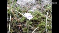 野捕虫堇,紫花捕虫堇变种