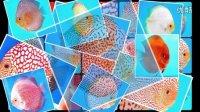 七彩神仙鱼-最美丽的热带鱼