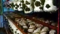 zgz黑木耳、平菇栽培技术