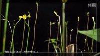 南方狸藻(Utricularia protrusa=U.australis)开花