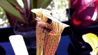 瓶子草没长大的时候会被猎物欺负 Sarracenia jonesii