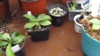 猪笼草(Nepenthes)及一些其他的食虫植物,自拍日记2