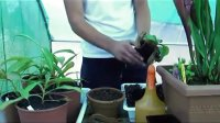 猪笼草(Nepenthes)换盆