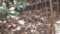 現實版蜥蜴的玩耍---我碰到的第三只蜥蜴