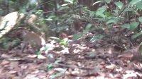 新加坡自然保護區的猴子家族